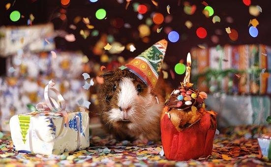 guinea-pig-1969698__340