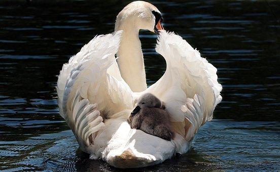 swan-2350668__340