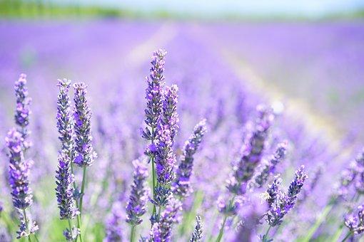 lavender-blossom-1595581__340
